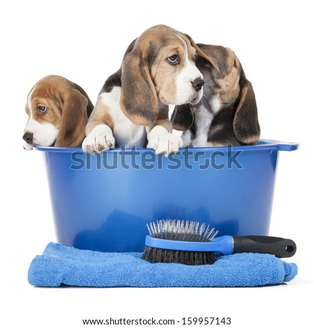 beagle puppies in a basin on a white background in studio - stock photo