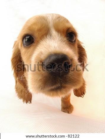 Beagle puppy - stock photo