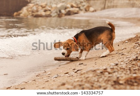 Beagle puppy active playing with stick at the beach - stock photo