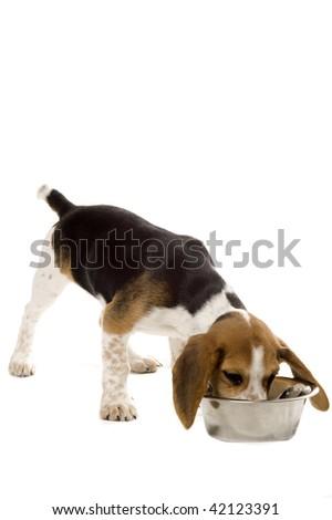 Beagle puppy - Chow Hound - stock photo