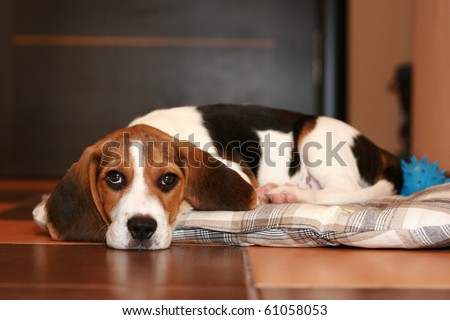 Beagle puppy, has a rest on a rug (Shallow DOF) - stock photo
