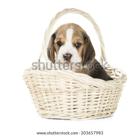beagle puppy in a basket on a white background in studio - stock photo