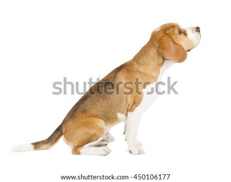 Beagle puppy isolated on white background. Side view, sitting, looking up - stock photo