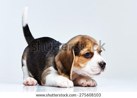 Beagle puppy lying on the white background - stock photo
