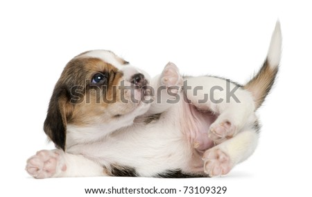 Beagle Puppy, 1 month old, lying in front of white background - stock photo