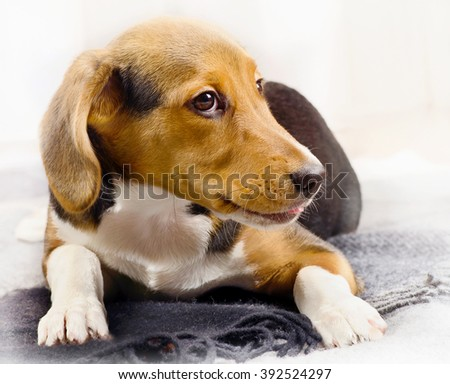 Beagle Puppy on a soft Blanket. Selective focus - stock photo