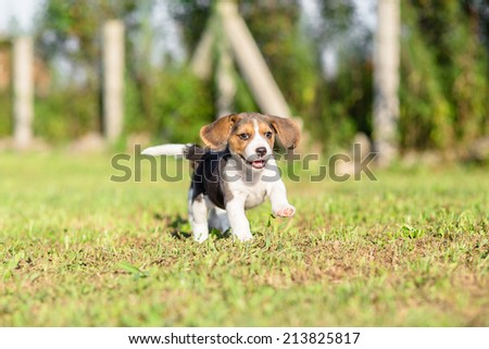 Beagle puppy running over the meadow - stock photo