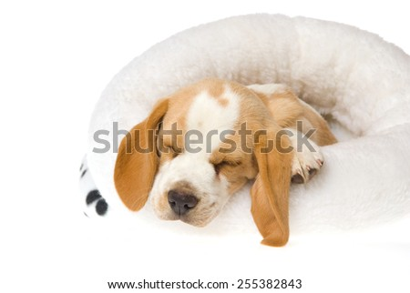 Beagle puppy sleeping in white round bed on white background  - stock photo