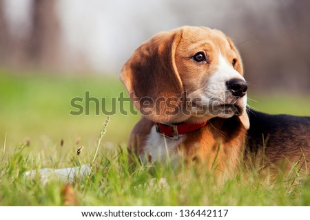 Beagle puppy with a noble posture lies quietly in the grass - stock photo