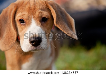 Beagle puppy with pitiful eyes outdoor portrait - stock photo
