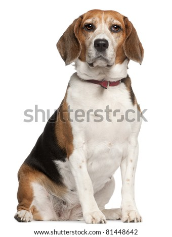 Beagle, 5 years old, sitting in front of white background - stock photo