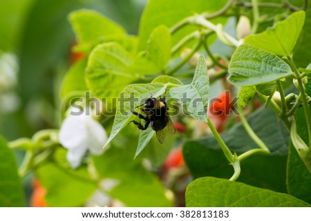 bean flower and bumblebee - stock photo