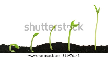 Bean seed germination different stages isolated on white - stock photo