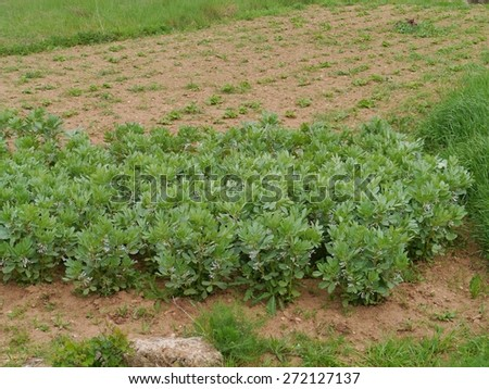 Beans growing in an allotment garden in Croatia - stock photo