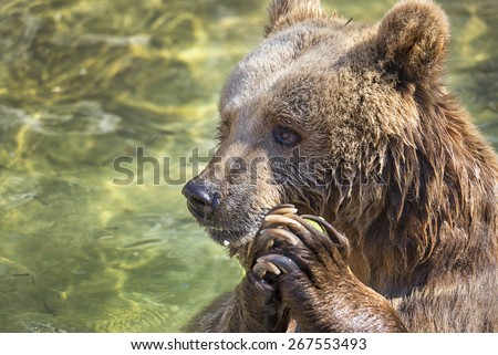 Bear  - stock photo
