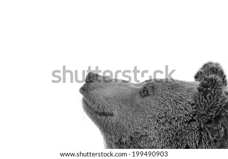 Bear brown grizzly portrait in the snow while looking at you in black and white - stock photo