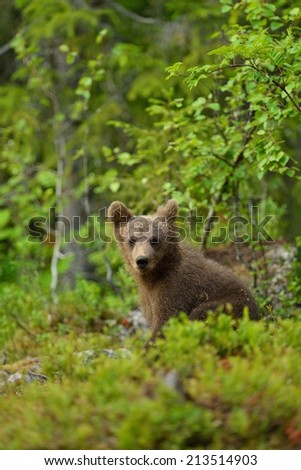 Bear cub in the forest - stock photo
