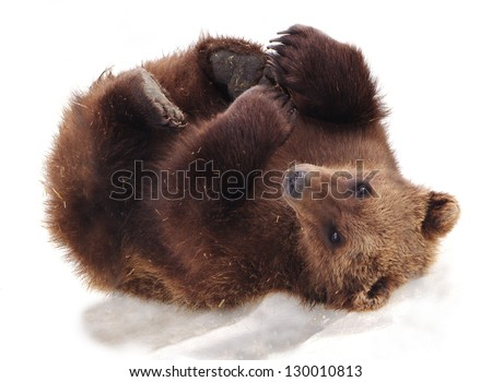 Bear cub on snow coastal Alaska \ Furry Alaskan - stock photo