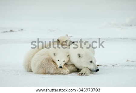 Bear cubs with a she-bear. Polar she-bear with bear cubs. A Polar she-bear with two small bear cubs. The polar bears (Ursus maritimus) in Snow tundra, blizzard. - stock photo