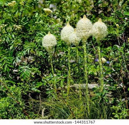 Bear Grass - stock photo