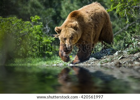 bear in forest on river - stock photo
