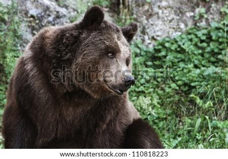 bear portrait. - stock photo