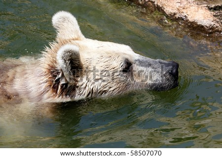 Bear swimming in a small pool - stock photo