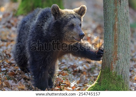 bear touch the tree backlight - stock photo