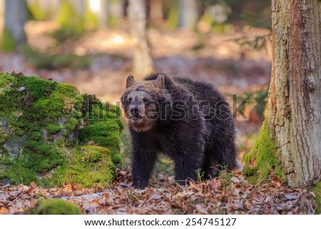 bear walking forest - stock photo