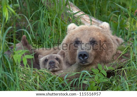 Bear with bear cubs in Russia on the peninsula of Kamchatka - stock photo