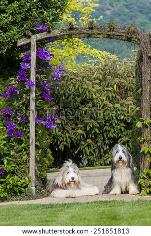 Bearded collie - stock photo