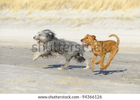 Bearded Collie and Airedale Terrier plays on the bach - stock photo