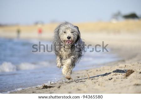 Bearded Collie on the beach - stock photo