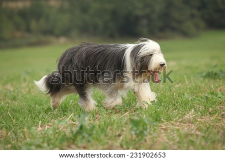 Bearded collie running in nature in summer - stock photo