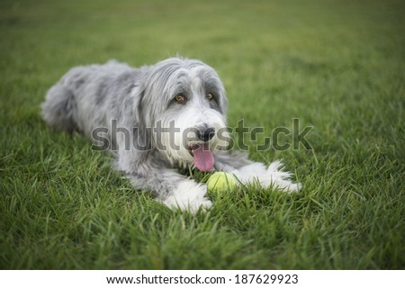 Bearded Collie with his big pink tongue out panting hard during tennis ball fetch play time which is is favorite activity. - stock photo