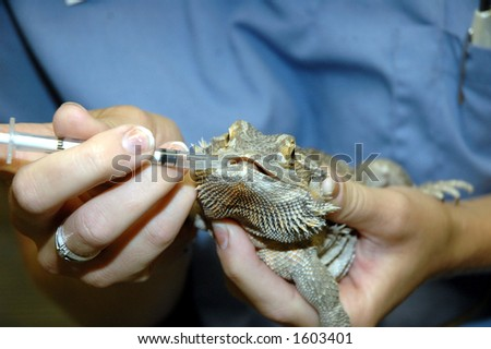 bearded dragon getting oral medication - stock photo