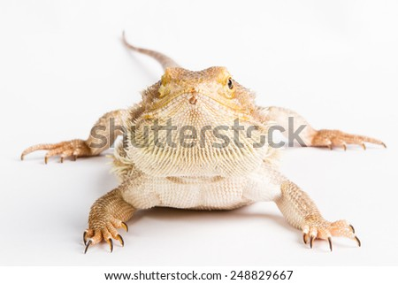 Bearded Dragon on white background. lizard isolated on white background - stock photo