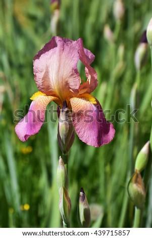 Bearded pink iris flower in full bloom in the garden - stock photo