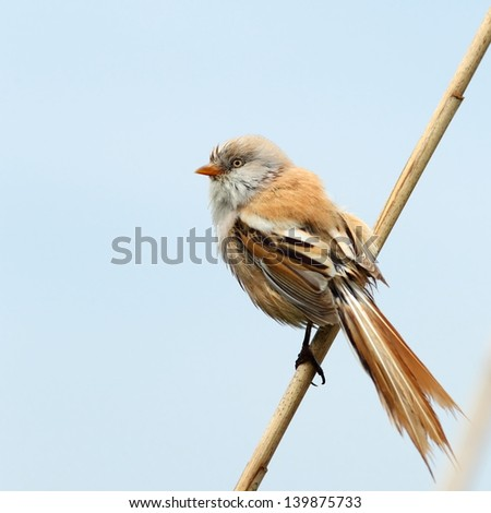 Bearded reedling, female, on a reed - stock photo