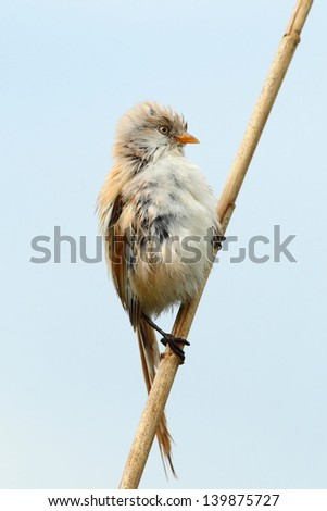 Bearded reedling, female, on a reed,(Panurus biarmicus) - stock photo