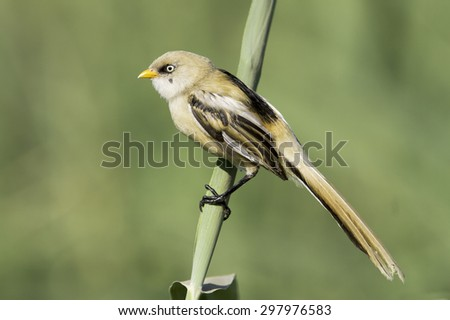 Bearded Reedling in natural habitat (Panurus biarmicus) - stock photo