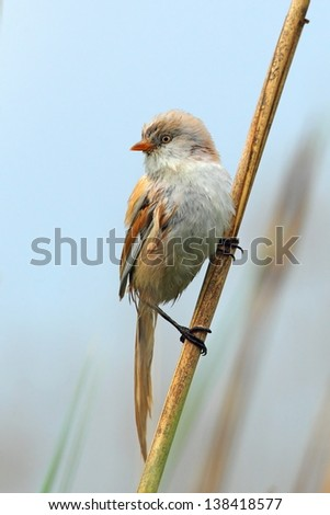 Bearded reedling, Panurus biarmicus on a reed - stock photo