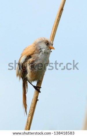 Bearded reedlingon a reed, in rain - stock photo