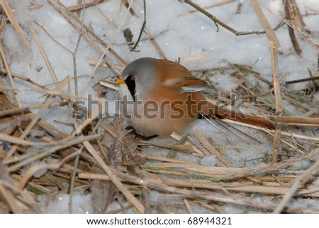 Bearded Tit, male - Reedling (Panurus biarmicus) - Oostvaardersplassen, the Netherlands - stock photo
