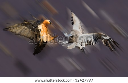 bearded vulture and cape vulture - stock photo