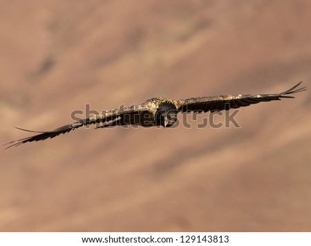 Bearded Vulture flying toward you while busy scanning the ground for prey - stock photo
