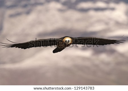 Bearded Vulture flying toward you with wings outstreched and snow mountains in the background - stock photo
