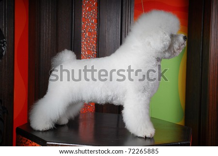 Beau a Bichon Frise, Relaxes on his couch - stock photo