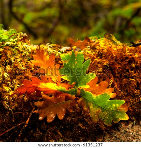Beautifil colored leafs from a oak tree - stock photo