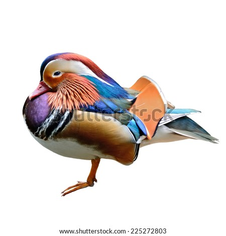 Beautiful a male Mandarin Duck isolated on white background. - stock photo